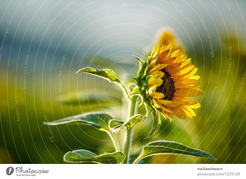 Feld mit Sonnenblumen Sommer Umwelt Natur Landschaft Pflanze Herbst Schönes Wetter Blume Nutzpflanze Hügel Blühend Wachstum natürlich viele blau gelb grün