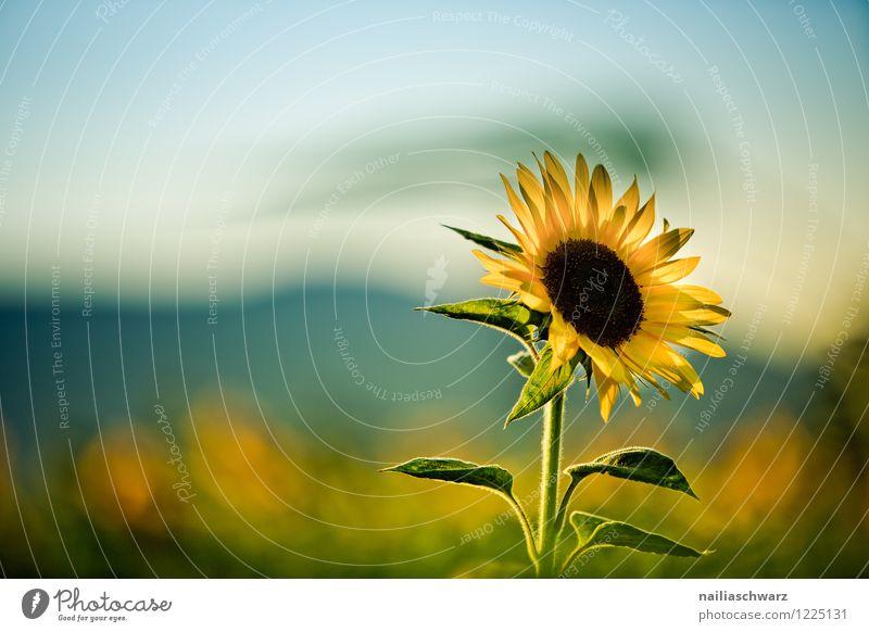 Feld mit Sonnenblumen Natur blau Pflanze schön Farbe Sommer Blume Landschaft Umwelt Berge u. Gebirge gelb natürlich Garten träumen Feld Wachstum