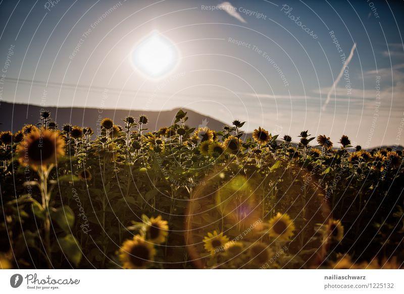 Feld mit Sonnenblumen Sommer Umwelt Landschaft Pflanze Herbst Blume Nutzpflanze Hügel Blühend Wachstum Ferne natürlich schön viele blau gelb grün Romantik
