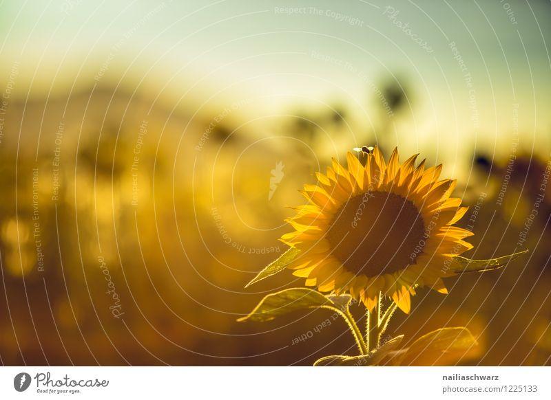 Feld mit Sonnenblumen Sommer Natur Pflanze Schönes Wetter Blume Blüte Nutzpflanze Berge u. Gebirge Blühend Wachstum natürlich positiv schön viele gelb Kraft