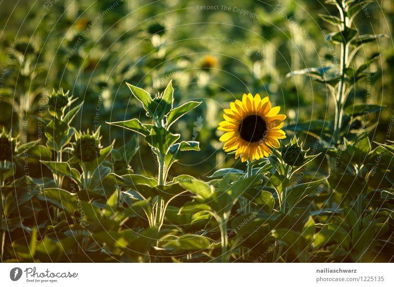 Feld mit Sonnenblumen Natur Landschaft Pflanze Blüte Nutzpflanze Duft natürlich schön viele gelb grün Fröhlichkeit Frühlingsgefühle Romantik friedlich Reinheit