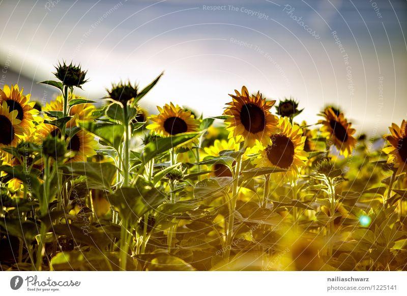 Feld mit Sonnenblumen Sommer Umwelt Natur Landschaft Pflanze Himmel Horizont Blume Nutzpflanze Blühend Duft Wachstum natürlich schön viele blau gelb grün