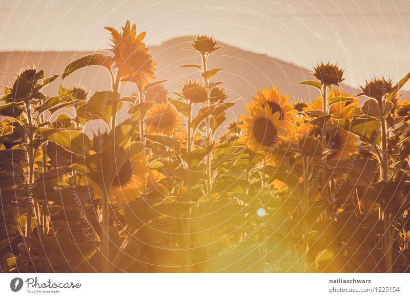Feld mit Sonnenblumen Sommer Natur Landschaft Pflanze Blume Blüte Grünpflanze Nutzpflanze Hügel Blühend Wachstum Unendlichkeit schön viele braun gelb friedlich