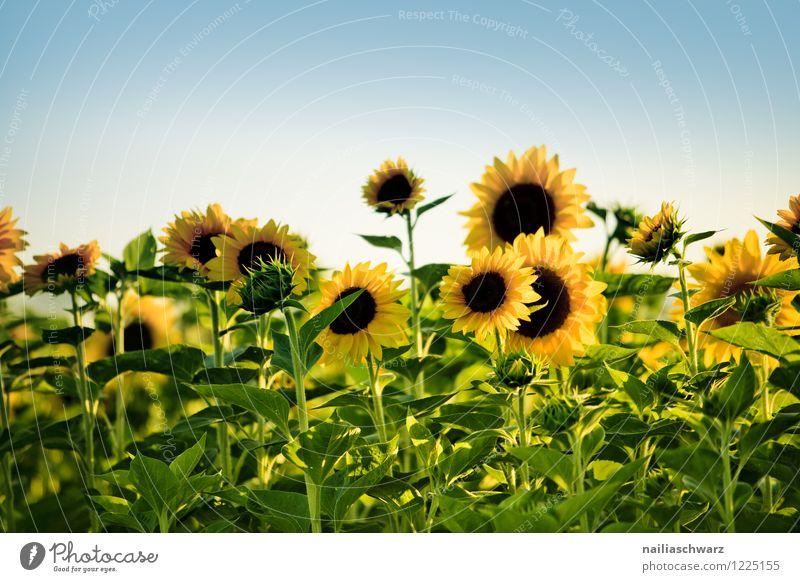 Feld mit Sonnenblumen Sommer Natur Landschaft Pflanze Himmel Schönes Wetter Blume Blühend Duft natürlich schön viele blau gelb grün Freude Reinheit Frieden