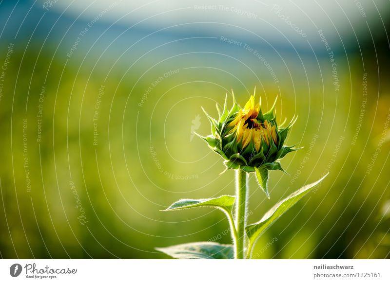 Feld mit Sonnenblumen Sommer Umwelt Natur Landschaft Pflanze Horizont Blume Blüte Nutzpflanze Berge u. Gebirge Fröhlichkeit natürlich schön viele blau gelb