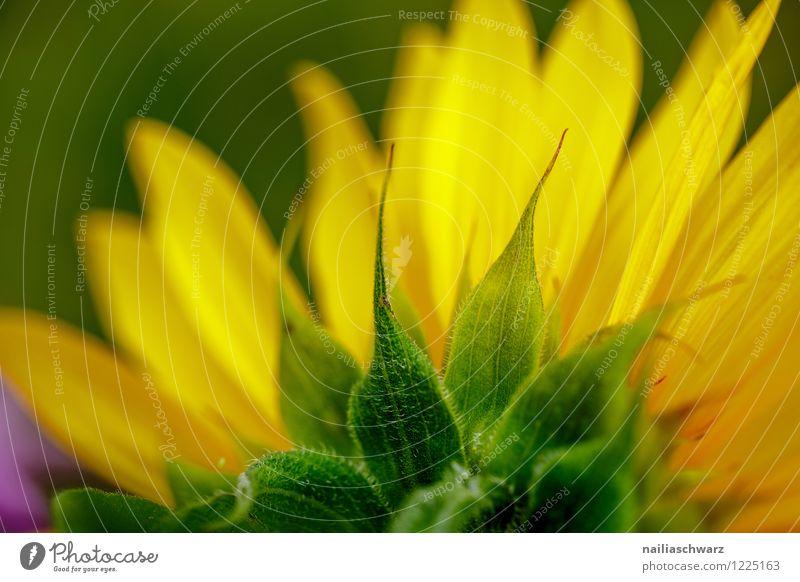 Sonnenblume Natur Pflanze grün schön Sommer Blume Umwelt gelb natürlich Gesundheit Garten Park Feld Wachstum frisch Blühend