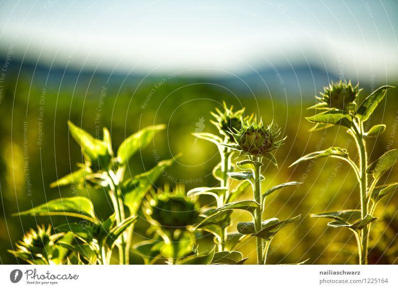 Feld mit Sonnenblumen Natur blau Pflanze grün schön Sommer Blume Landschaft Berge u. Gebirge Umwelt gelb Blüte Horizont Feld Wachstum Idylle