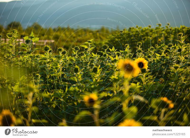 Feld mit Sonnenblumen Natur Pflanze blau schön Sommer Blume Landschaft Umwelt gelb Blüte natürlich Horizont Tourismus Wachstum einfach