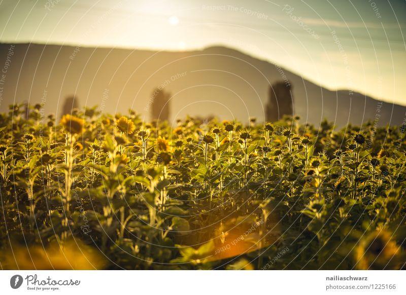 Feld mit Sonnenblumen Sommer Natur Landschaft Pflanze Sonnenaufgang Sonnenuntergang Blume Blüte Nutzpflanze Berge u. Gebirge Blühend leuchten natürlich schön