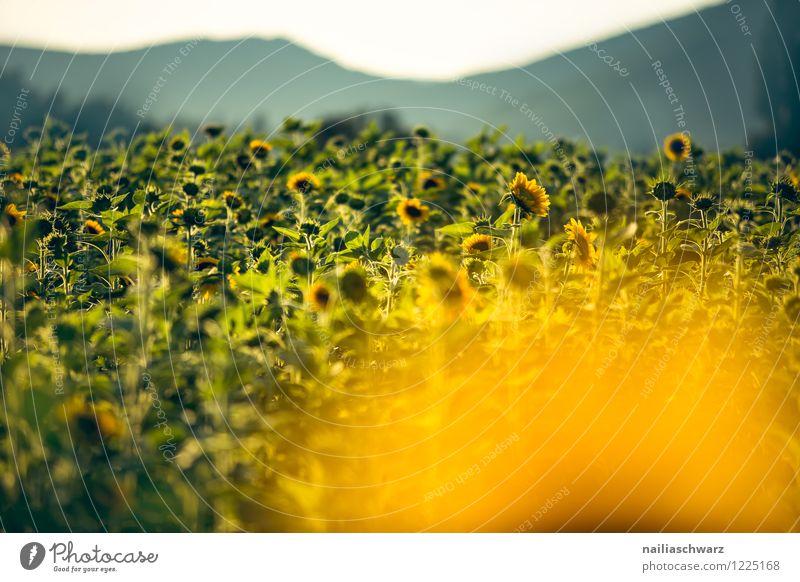 Feld mit Sonnenblumen Sommer Blume Hügel Blühend Wachstum Duft Unendlichkeit natürlich viele gelb grün Warmherzigkeit Romantik friedlich Reinheit Frieden