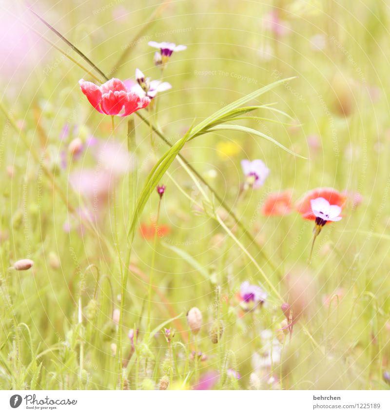 a Natur Pflanze Frühling Sommer Herbst Schönes Wetter Blume Gras Wildpflanze Mohn Garten Park Wiese Feld Blühend Wachstum schön Kitsch violett rosa rot Farbfoto