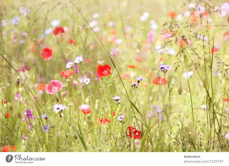 frau sommer lässt grüßen... Natur Pflanze Frühling Sommer Schönes Wetter Blume Gras Blatt Blüte Wildpflanze Mohn Garten Park Wiese Blühend Wachstum schön