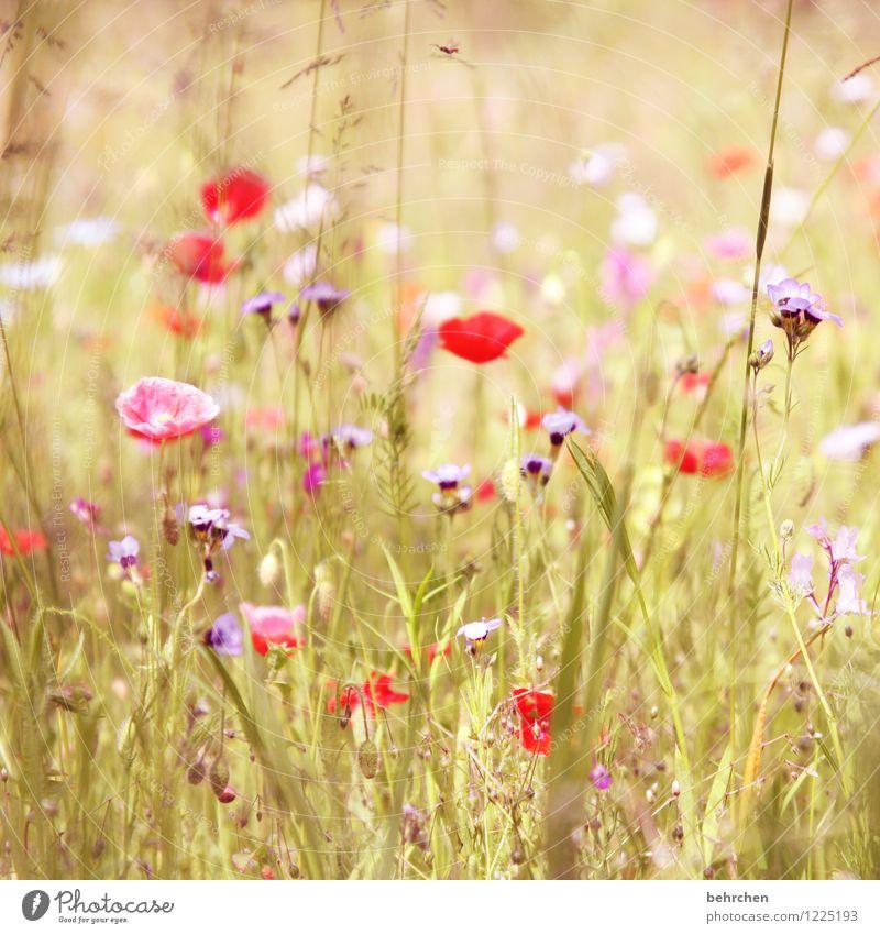 g Natur Pflanze Frühling Sommer Herbst Schönes Wetter Blume Gras Blatt Blüte Wildpflanze Mohn Garten Park Wiese Feld Blühend Wachstum schön Kitsch violett rosa