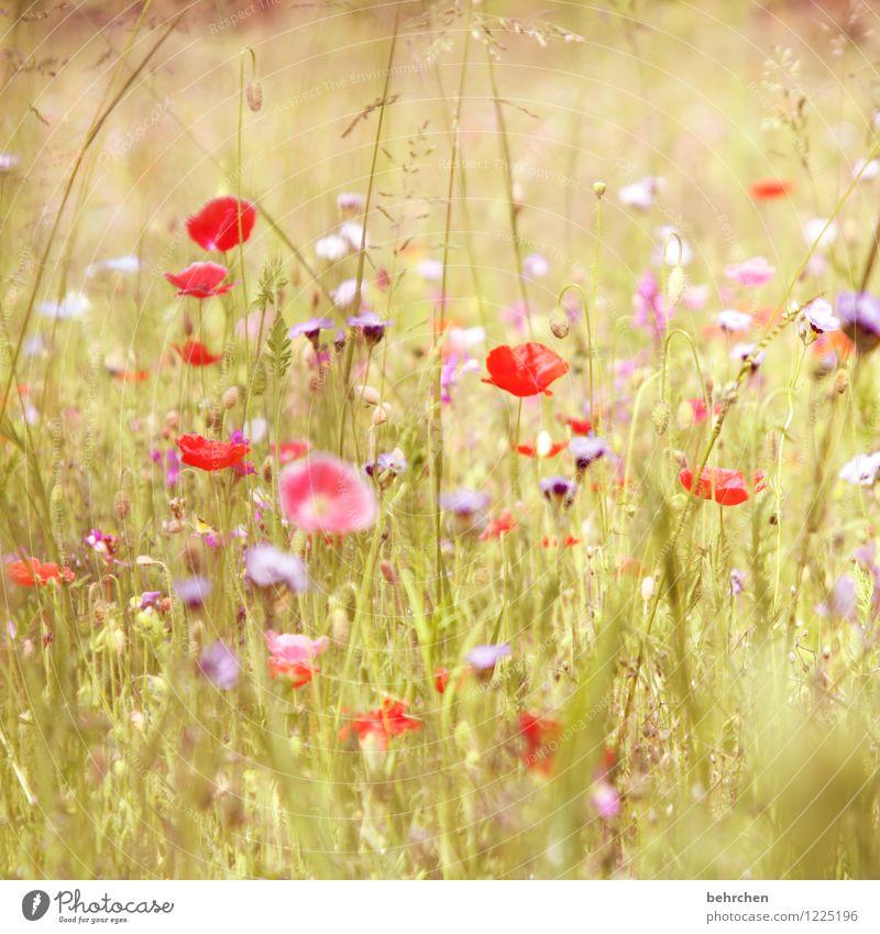 darf ich vorstellen: flora sommer Natur Landschaft Pflanze Sommer Blume Gras Blatt Blüte Wildpflanze Mohn Garten Park Wiese Feld Blühend Wachstum Duft schön