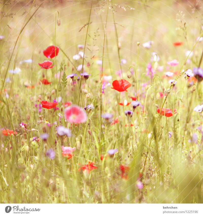 darf ich vorstellen: flora sommer Natur Pflanze schön Sommer Blume rot Landschaft Blatt Blüte Wiese Gras Garten rosa Park Feld Wachstum