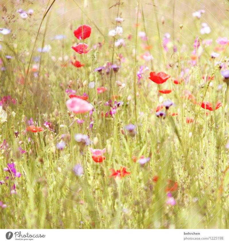 flora sommer is back! Natur Pflanze Frühling Sommer Schönes Wetter Blume Gras Blatt Blüte Wildpflanze Mohn Garten Park Wiese Feld Blühend Duft verblüht Wachstum