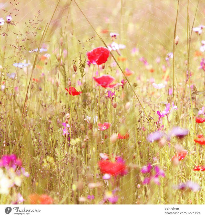 frau sommer von ihrer schönsten seite Natur Pflanze Frühling Sommer Schönes Wetter Blume Gras Blatt Blüte Wildpflanze Mohn Garten Park Wiese Feld Blühend