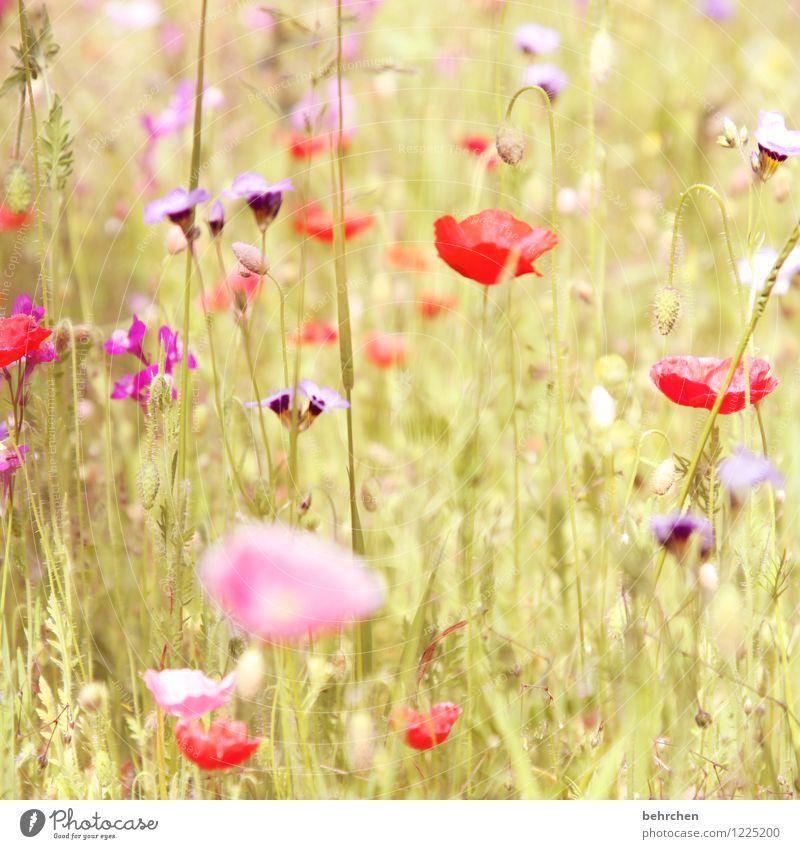 (h) Natur Pflanze Frühling Sommer Herbst Schönes Wetter Blume Gras Blatt Blüte Wildpflanze Mohn Garten Park Wiese Feld Blühend Wachstum schön Kitsch violett