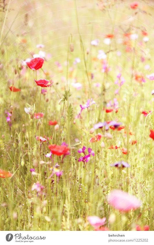 pfingstmo(h)ntag war gestern Natur Pflanze Frühling Sommer Schönes Wetter Blume Gras Blatt Blüte Mohn Garten Park Wiese Blühend Duft verblüht Wachstum schön