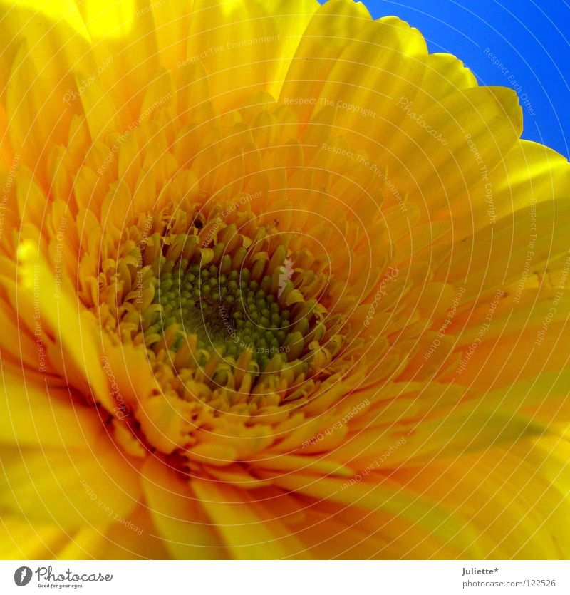 Flower Power Blume Sommer gelb offen Blüte prächtig Makroaufnahme Nahaufnahme schön Himmel blau