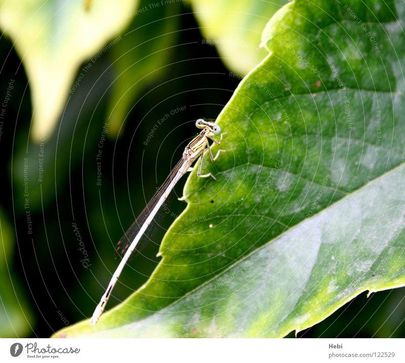 Vegetarier Insekt Blatt grün gelb Besucher Südfrankreich Ekel Fluggerät Sommer Blattgrün Libelle Klein Libelle hebi langes insekt lustige augen