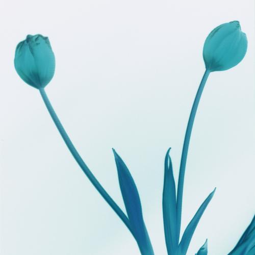 Tulpenpower 3 Klassik schwarz weiß analog Pflanze Monochrom kalt Amsterdam Gras Dinge Quelle schön Frühling Blume einfach ästhetisch Vase Blumenladen rot gelb