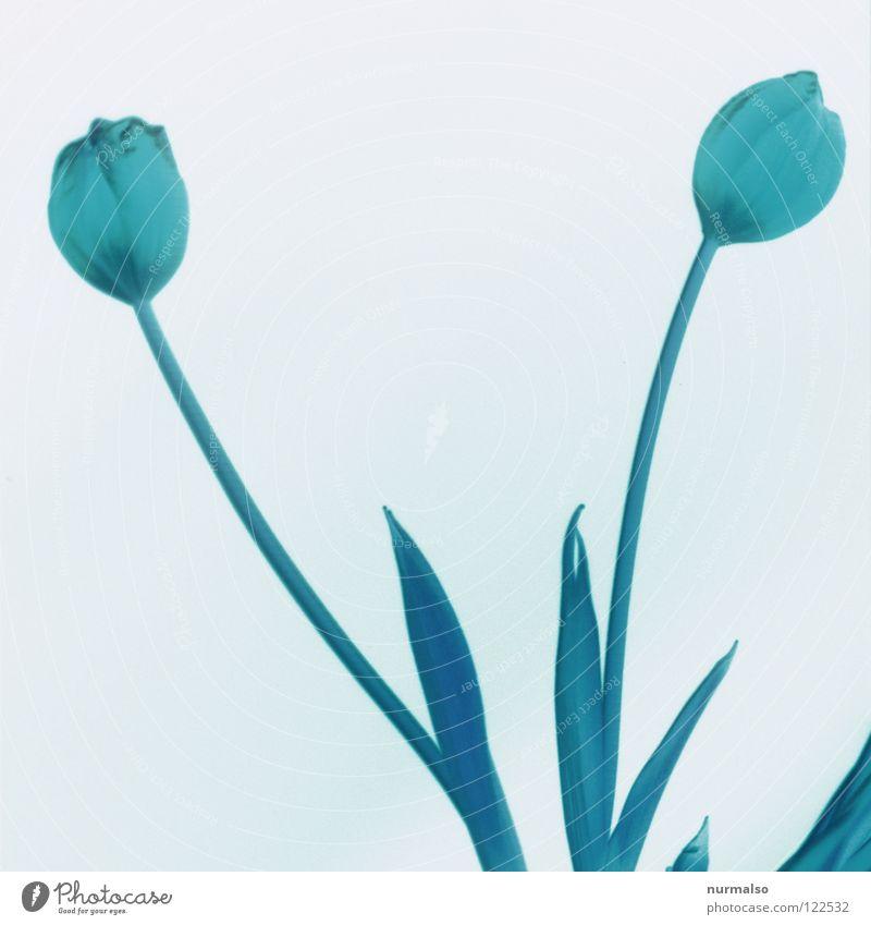 Tulpenpower 3 Pflanze schön Farbe weiß Blume rot schwarz kalt gelb Gefühle Frühling Gras rosa 2 orange ästhetisch