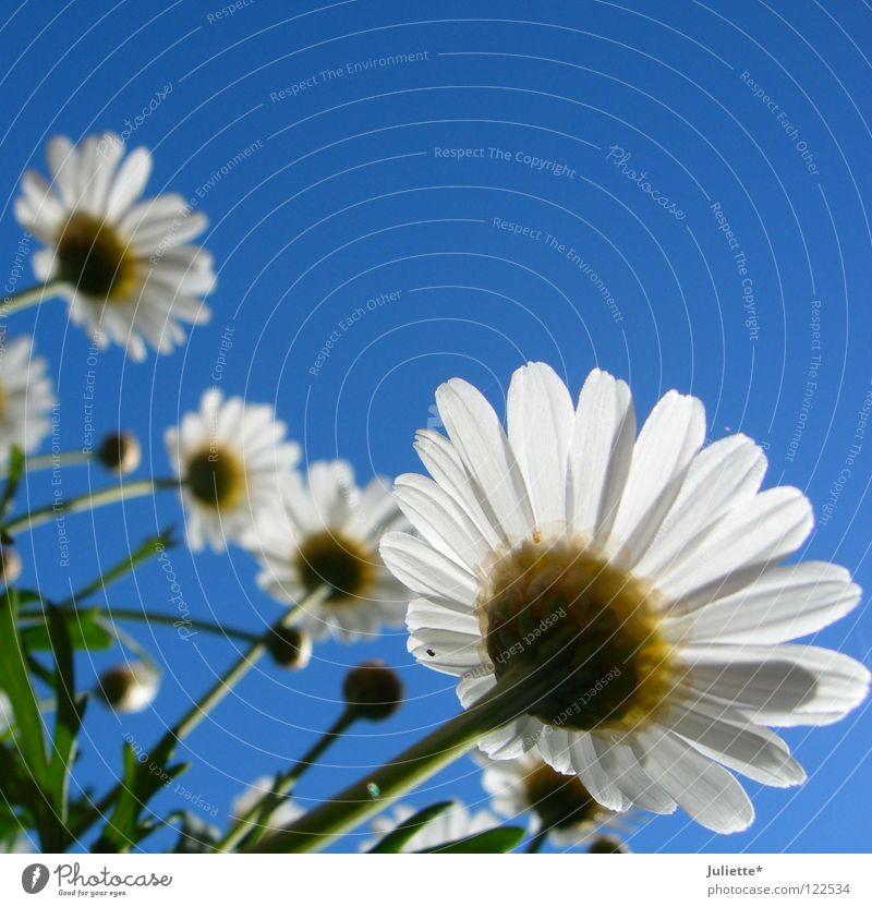 Bald blüht´s! Blume sprießen gegen Physik Sommer weiß grün Wachstum gedeihen säen schön Blühend blumig Magaritte Magaritten Wärme Ernte blau Himmel Margerite