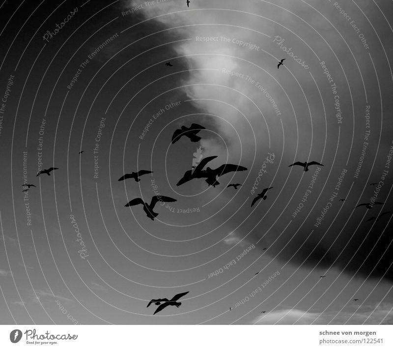 himmelwärts Himmel weiß Winter schwarz Wolken Tier Leben See Vogel Wetter fliegen Möwe
