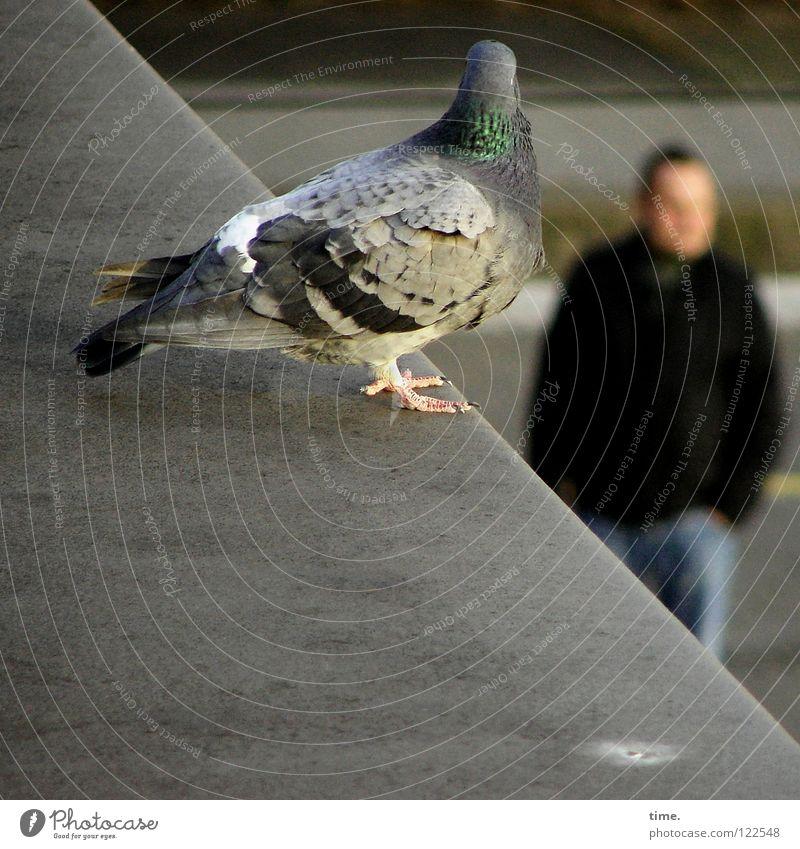 Looking For Delicacies Mann grau Vogel warten Hintergrundbild sitzen maskulin Ecke Feder Dach Verkehrswege Taube Blech Krallen Vordergrund blau-grau