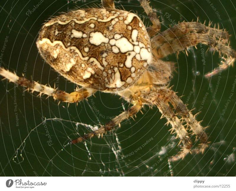 Spider Spinne Kreuzspinne Verkehr Makroaufnahme Netz
