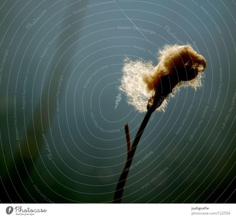 Am See, sonntags Teich Schilfrohr Gras Gegenlicht Sonntag träumen weich zart schön Umwelt Farbe Wasser Pollen Samen Natur
