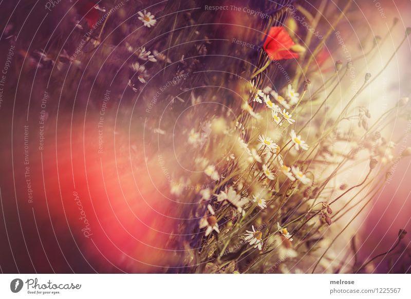 Mohnrausch elegant Stil Design Natur Pflanze Sommer Schönes Wetter Blume Blüte Wildpflanze Klatschmohn Margerite Park Rauschmittel Blühend Duft Erholung