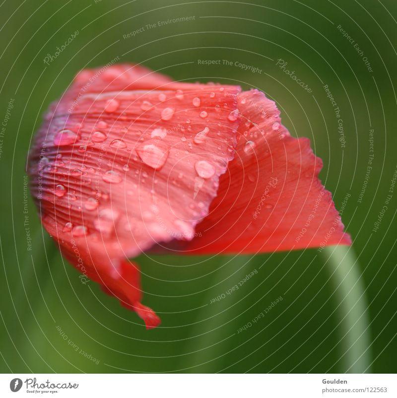 Ein Muss für Rotgrünblinde Natur Wasser Blume Pflanze rot Sommer Farbe kalt Erholung Wassertropfen frei Seil frisch Wachstum rein