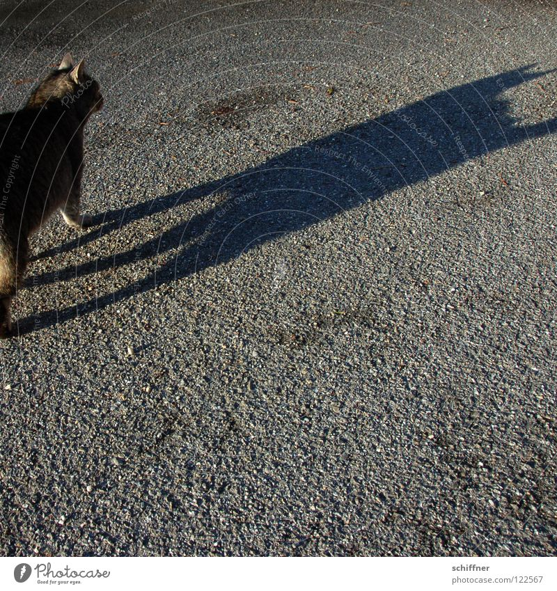 Catwalk III Katze Hauskatze Tier Säugetier Laufsteg stolzieren Fell Schwanz Zuneigung Schatten Felidae Tigerle MuschMusch gehen ranpirschen Haare & Frisuren
