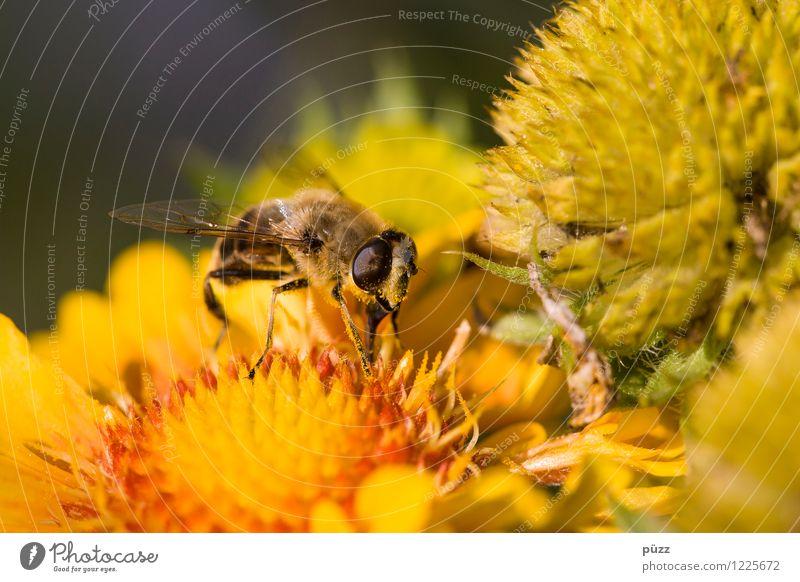 Bienchen und Blümchen Umwelt Natur Pflanze Tier Frühling Sommer Schönes Wetter Blume Wildpflanze Garten Wiese Nutztier Wildtier Biene 1 gelb Insekt Pollen Honig