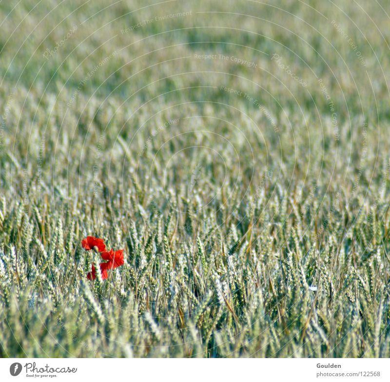 Mohn auf 8 Uhr Feld Mohnfeld Weizen Kornfeld Blume Weizenfeld Roggen Gerste ökologisch typisch Einsamkeit einzeln außergewöhnlich Anomalie vereinzelt rot Sommer