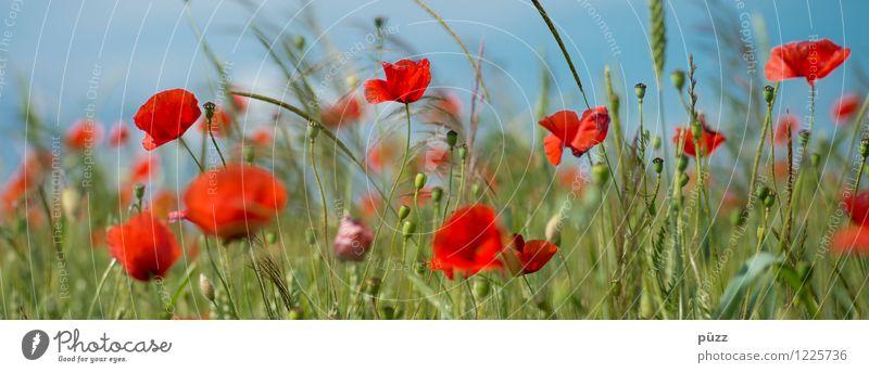 Mohn Getreide Sommer Sonne Umwelt Natur Landschaft Pflanze Himmel Wolkenloser Himmel Frühling Schönes Wetter Blume Blüte Nutzpflanze Mohnblüte Feld Blühend