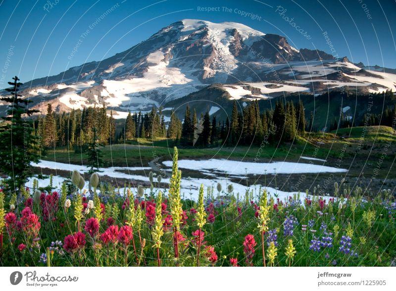 Sommer Wildblumen auf Paradise Ridge Umwelt Natur Landschaft Pflanze Erde Luft Himmel Schönes Wetter Wiese Berge u. Gebirge Mount Rainier Gipfel