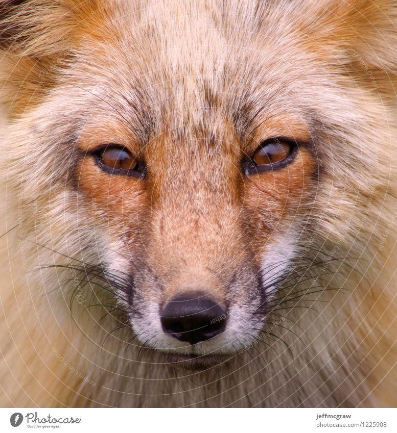 Foxy Natur schön Tier schwarz Umwelt orange Wildtier niedlich Neugier hören Wachsamkeit Jagd klug Weisheit Fuchs
