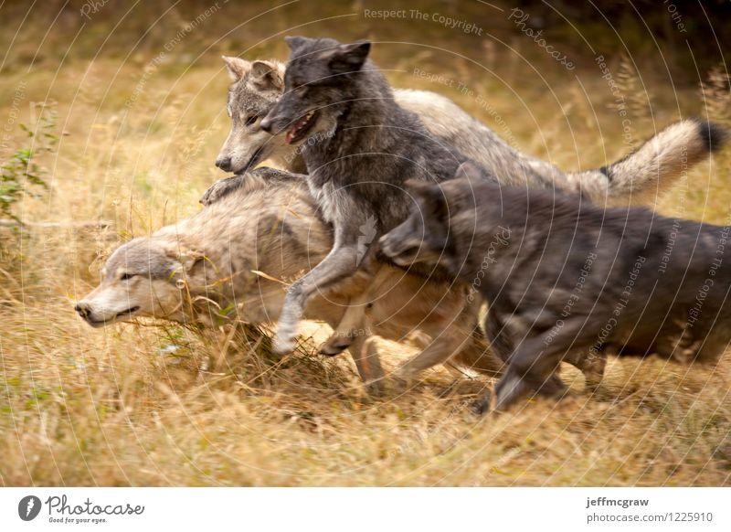 Graue Wolfsrudel im Spiel Natur Tier Wildtier Wölfe 4 Tiergruppe rennen Spielen toben Aggression gelb grau schwarz aufregend Aufregung spielerisch Tierwelt