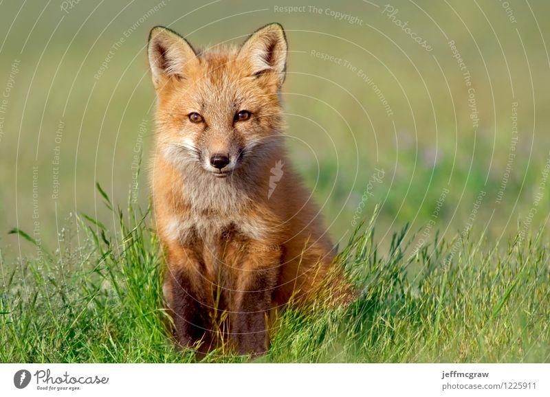 Neugieriges Fox-Kit Natur grün Tier Umwelt Tierjunges klein Zufriedenheit orange Wildtier Fröhlichkeit beobachten niedlich Tiergesicht reizvoll klug