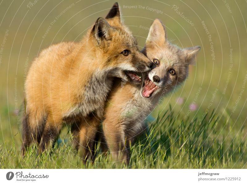 Junge Fox Kits spielen Natur grün Tier Tierjunges Wiese Spielen braun Freundschaft orange Wildtier Fröhlichkeit berühren kuschlig kämpfen Tierliebe toben