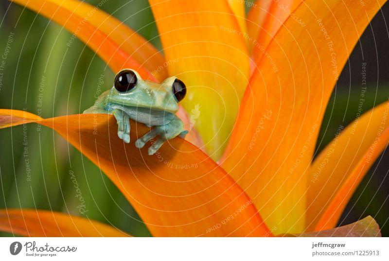Treefrog die Aussicht genießen Umwelt Natur Pflanze Tier Grünpflanze exotisch Haustier Frosch Tiergesicht 1 Blick sitzen hell schön einzigartig klein niedlich