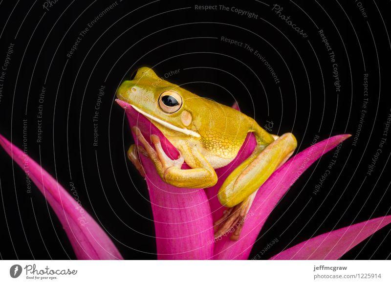 Treefrog Entspannung Natur Erholung Blatt Tier Denken sitzen niedlich einzigartig Haustier reizvoll ökologisch Frosch Grünpflanze
