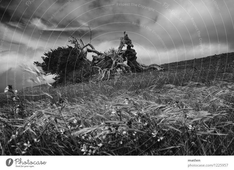 Windsbraut Landschaft Pflanze Himmel Wolken Horizont Wetter Sturm Baum Gras Sträucher Wildpflanze Wiese Hügel natürlich schwarz weiß Dynamik wehen Windflüchter