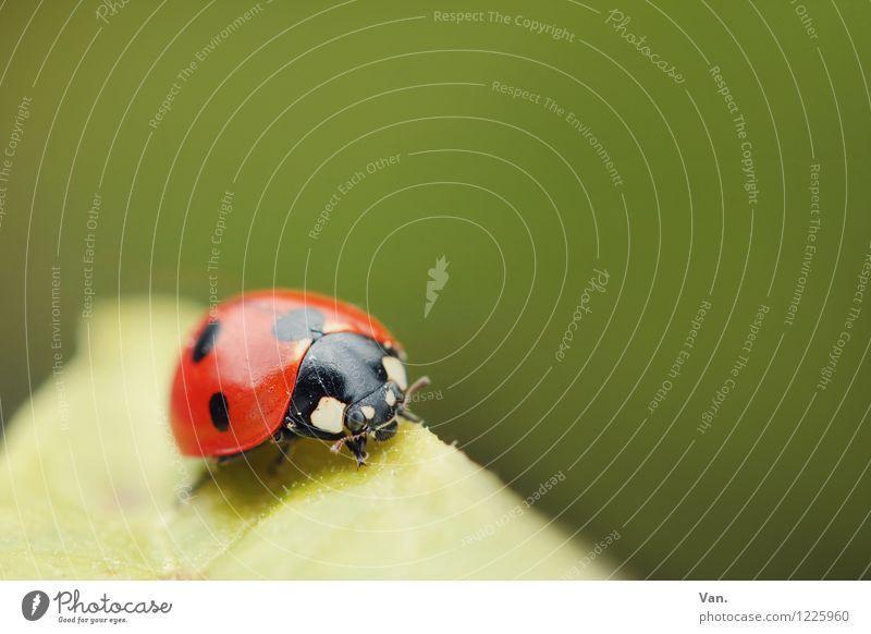 Glücksbringer Natur Tier Frühling Blatt Käfer Insekt Marienkäfer 1 klein grün rot Punkt Farbfoto mehrfarbig Außenaufnahme Nahaufnahme Menschenleer