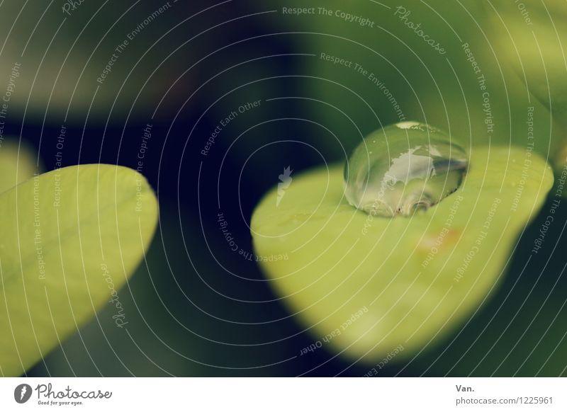 Regenrest Natur Pflanze Wassertropfen Blatt Grünpflanze frisch grün Farbfoto Gedeckte Farben Außenaufnahme Nahaufnahme Makroaufnahme Menschenleer