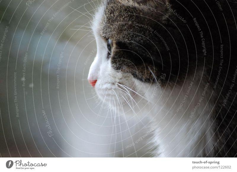 Sehnsucht grau Katze Säugetier Fernweh Hauskatze Katzenauge