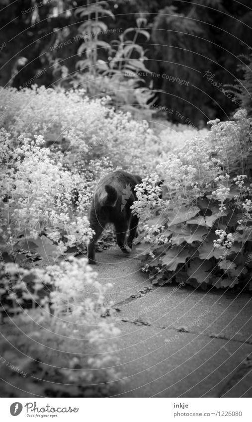 Landstreicher Freizeit & Hobby Garten Umwelt Pflanze Tier Frühling Sommer Blume Haustier Katze Hinterteil 1 laufen Leben Herumtreiben Schwarzweißfoto